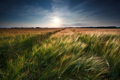 Wheat and barley field Stock Image