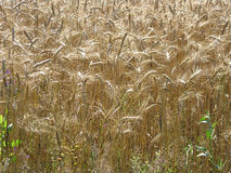 Wheat barley grains Stock Image