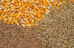 Wheat, barley and maize. Grains as agricultural background royalty free stock photography