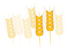 Wheat, Barley or Rye Stock Photography
