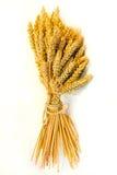 Wheat beam. Close up shot of fresh wheat beam royalty free stock photos