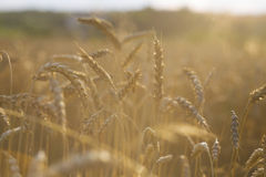 Wheat. Beautiful ripe wheat in the field. macro photo Royalty Free Stock Image