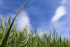 Wheat. Beautifully growing under a blue sky Stock Photography