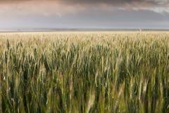 Wheat belt Royalty Free Stock Photo