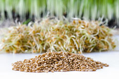 Wheat Berries Stock Photography