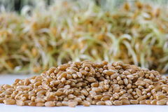 Wheat Berries Royalty Free Stock Photography