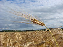 Wheat bio fuel. Wheat all pointing in the same direction Stock Photography