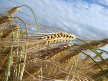 Wheat bio fuel - oil. Wheat all pointing in the same direction Royalty Free Stock Photo