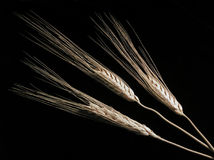 Wheat on Black. Three ears of wheat on a black background Stock Images