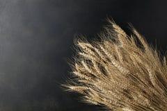 Wheat on black background Stock Image