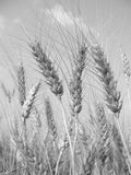 Wheat (black and white). Wheat before harvest (black and white Royalty Free Stock Images
