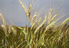 Wheat Blades Royalty Free Stock Images
