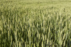Wheat in bloom. Wheat field in flower Lombardy Italy May 2014 Stock Photo