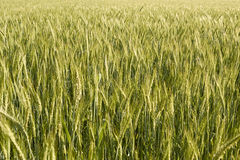 Wheat in bloom. Wheat field in flower Lombardy Italy May 2014 Royalty Free Stock Image