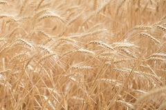 Wheat blown by the wind. Golden wheat blown by the wind in the summer sun stock photos