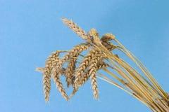 Wheat on Blue Background Royalty Free Stock Image