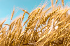 Wheat on blue saturated sky background. Wheat on blue saturated sky field background Stock Photography