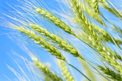 Wheat on blue saturated sky background. Wheat on blue saturated sky field background Stock Images