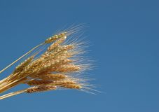 Wheat and the blue sky Stock Image