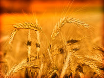 Wheat and blue sky Royalty Free Stock Photo