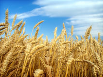 Wheat and blue sky Royalty Free Stock Image