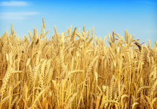 Wheat and blue sky Stock Image