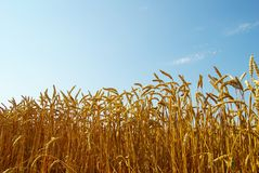 Wheat and blue sky Stock Photography