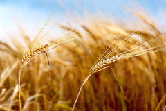 Wheat on blue sky Stock Photo