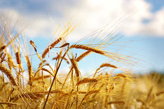 Wheat on blue sky Stock Photos