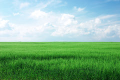 Wheat Blue Sky. Lush green wheat field with cloudy blue sky stock photo