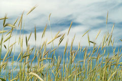 Wheat and blue sky Stock Images