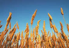 Wheat and blue sky as background Royalty Free Stock Photo