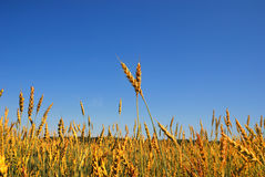 Wheat in the blue sky background 4. Golden wheat in the blue sky background Royalty Free Stock Images