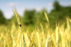 Wheat and blue sky behind. Stock Photos