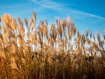 Wheat and Blue Sky. Wheat blowing in the wind on a cold afternoon stock image