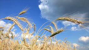 Wheat and blue sky stock video footage