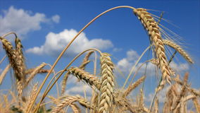 Wheat And Blue Sky 02 stock footage