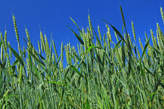 Wheat before blue sky. Field with immature wheat Triticum aestivum in Brittany, France before blue sky Stock Photos