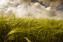 Wheat an blue sky. Field of wheat  before a storm Stock Image