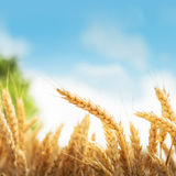 Wheat and blue sky Royalty Free Stock Photos
