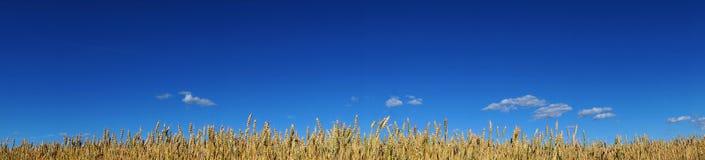 Wheat on blue sky Stock Image