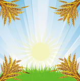 Wheat bunches. Bunches of wheat against the blue solar sky Royalty Free Stock Photography