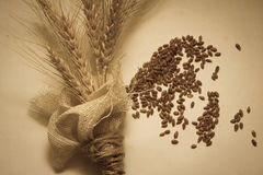 Wheat bundle and germs. Wheat harvest, photo with copy space Stock Photos