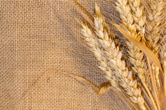 Wheat on Burlap. Bearded Wheat Bundle on Right Side of Burlap Royalty Free Stock Images