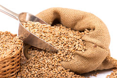 Wheat in a burlap  sack Stock Photography