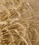 Wheat. Cereal on burlap as food background Stock Photography