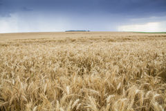 Wheat Cereal Farming Agriculture Royalty Free Stock Photo