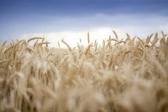 Wheat Cereal Farming Agriculture Sun Set Royalty Free Stock Photo