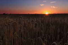 Wheat cereal field ready to harvest in Palencia Stock Images