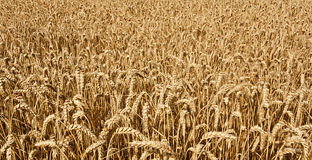 Wheat cereal grain. Agricultural wheat field background growing cereal for the production of grain for the domestic market Royalty Free Stock Images